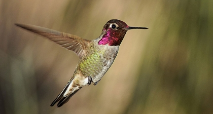 Anna's Hummingbird with shiny magenta chest in mid-flight, with blurred green and brown background