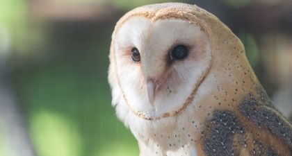 Close-up of Barn Owl's white and tan face with blurred background