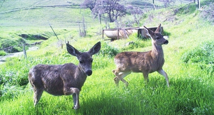 Two black-tailed deer does standing on green grass with hillside in background