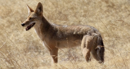 Tan coyote standing in profile in tall golden grass