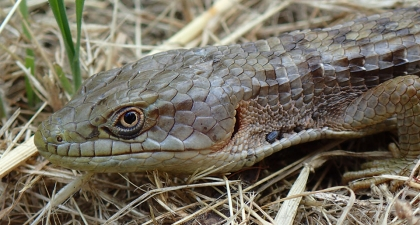 Close up of scaly Alligator Lizard head with its yellow eye looking at camera