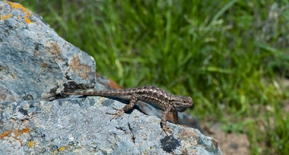 "Western Fence Lizard on gray rock with its body arched in a high ""push-up"" position"
