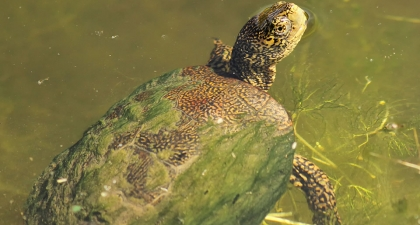 Western Pond Turtle with moss-covered shell swimming on surface of green water, its head looking up and back at the camera