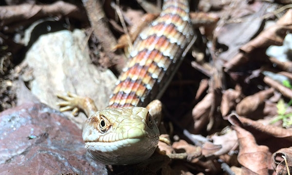 Looking down on Alligator Lizard on leafy ground as it looks up at the camera