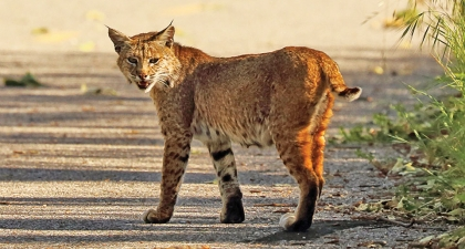 Bobcat on paved trail walking away, with turned head to look back at camera