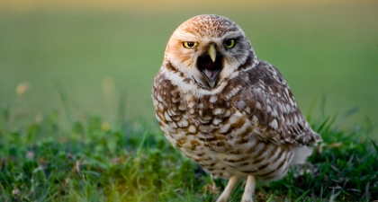 Small brown Burrowing Owl on green grass with beak open in a call towards the camera