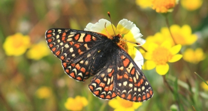 Black, orange, and white patterned Bay Checkerspot Butterfly on a yellow and white flower with other flowers in background