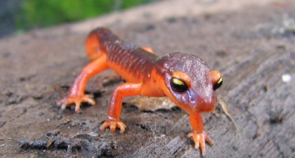 Bright orange Ensatina Salamander with big black and yellow eyes walking across log towards camera