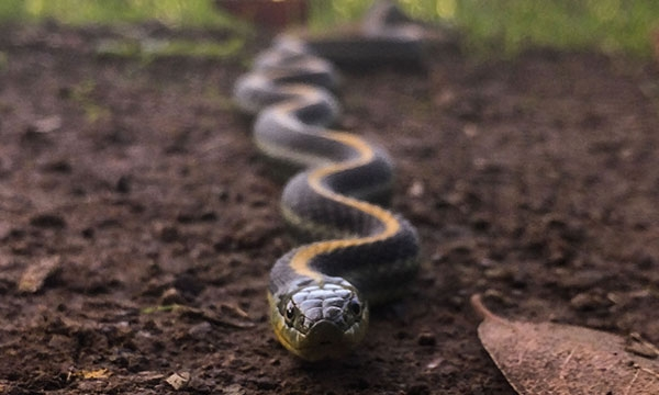 Eye level view of black Garter Snake with yellow dorsal stripe coming straight towards the camera, its body behind it out of focus