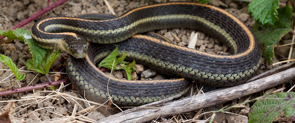 Black Garter Snake with yellow stripes coiled on ground, face looking directly at camera