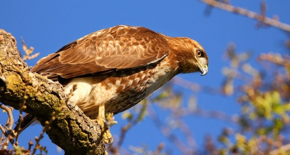 Red-tailed Hawk perched on branch leaning forward and looking down, blue sky background