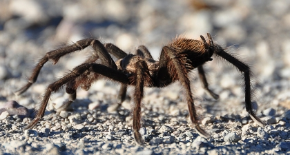 Brown and hairy Tarantula on pebbly ground