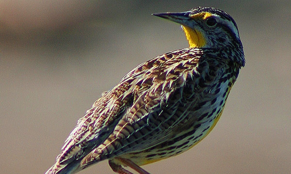 Western Meadowlark close-up with head turned to look over its back
