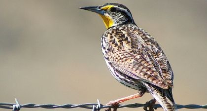 Western Meadowlark perched on barbed wire facing away from the camera with face in profile