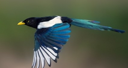 Black and white Yellow-billed Magpie flying to the left with a blurred background