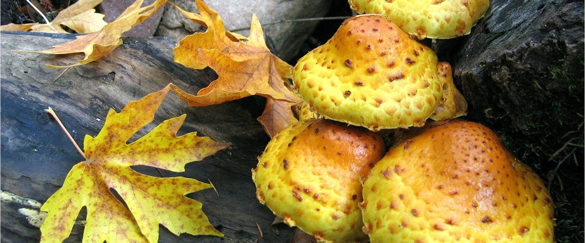 Yellow mushrooms and yellow-brown leaves on dark brown logs