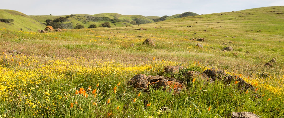 Green field with lichen-covered rocks and yellow wildflowers and orange California Poppies, green hills in the distance