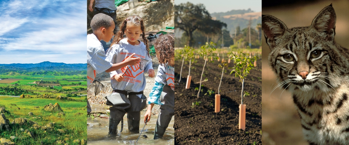 Collage with images of green Coyote Valley landscape, three children in Boys and Girls Club shirts playing in a creek, tree saplings in farm field, and bobcat face