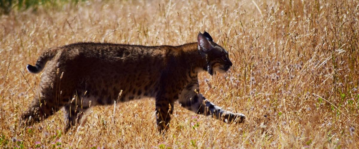 Dark bobcat walking through tall brown grass
