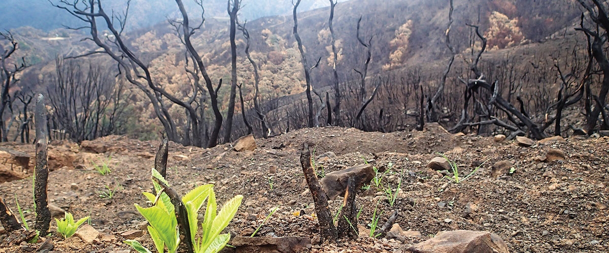 Small green plants sprouting amidst fire burned landscape with black charred trees