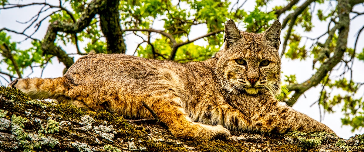 Bobcat laying on tree branch looking at the camera
