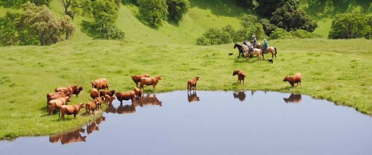 Four riders on horseback next to blue pond surrounded by green grass and a group of brown cows