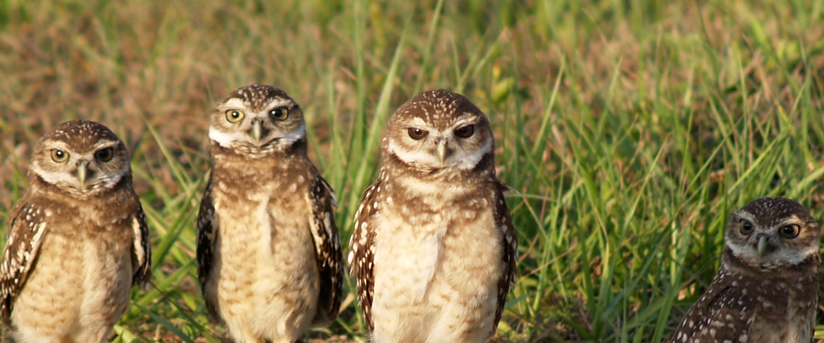 Four burrowing owls standing in green grass