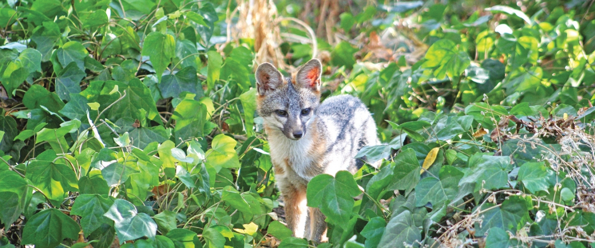 Small gray fox standing in patch of green leaves