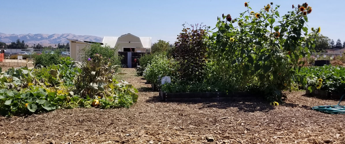 Garden beds at Martial Cottle County Park with white garden shed in background