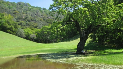 Small pond under large oak tree in green meadow with hillside in background