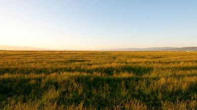Open field of golden grass