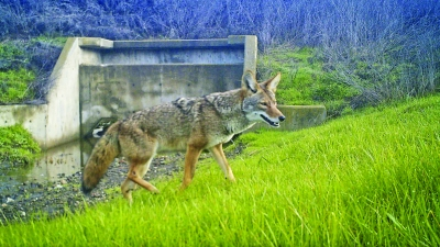 Coyote walking up grassy slope with culvert in background