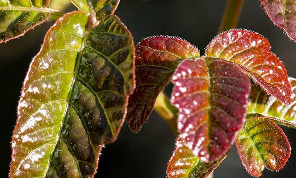 Close-up of red and green shiny Poison Oak leaves