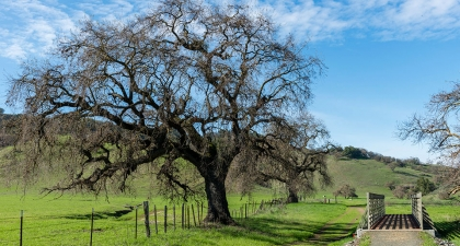 Large Valley Oak with bare branches on green grass next to trail and pedestrian bridge