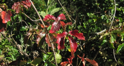 Red, shiny Poison Oak leaves with green foliage in background
