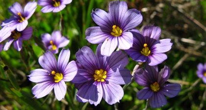 Looking down at cluster of Blue-eyed grass, each small flower with six blueish-purple petals and a yellow center