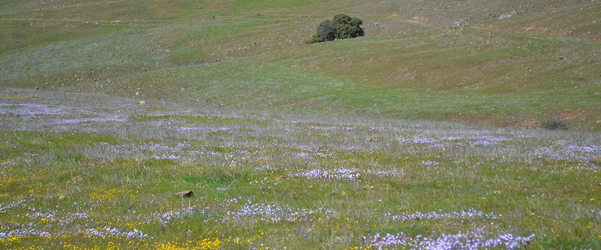 Green field and hillside covered in patches of yellow and pale blue wildflowers