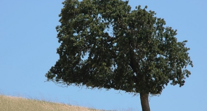 Dark Coast Live Oak on golden grassy hill with clear blue sky
