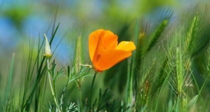 Single orange California Poppy growing in green grass