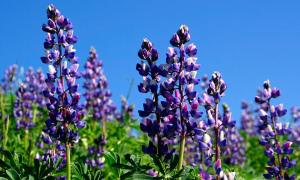 Hillside covered in purple and white Lupine blooms against a blue sky