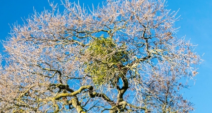 Clump of bright green Mistletoe clustered in the bare branches of a tree with a blue sky behind