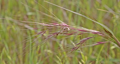 Close-up of Purple Needlegrass tufts against green background