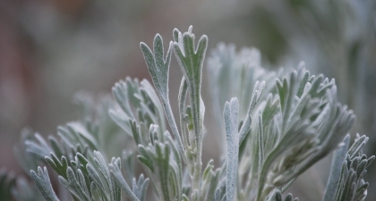 Close-up of soft, pale green Sagebrush leaves