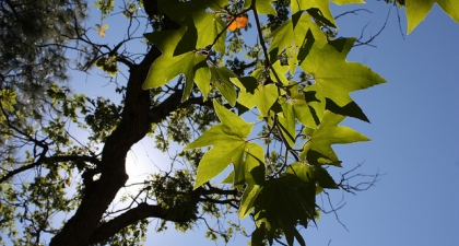Looking up at blue sky and sun through green Sycamore leaves and branches