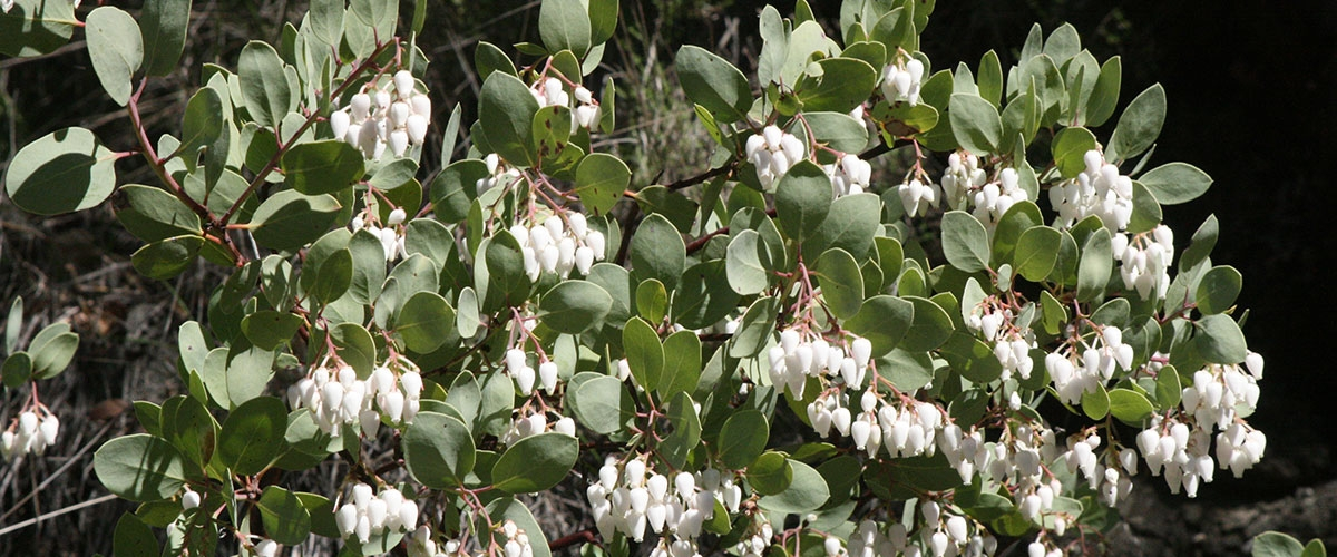 Bigberry Manzanita's pale green oval-shaped leaves and clusters of small, white, bell-shaped flowers that droop downwards