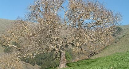 Big, gnarled California Buckeye tree with bare branches on a grassy green hillside