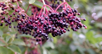 Clusters of dark blue and shiny Elderberry berries growing from red colored stem