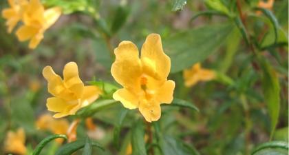 Yellow Monkey Flower blossoms against green leaves