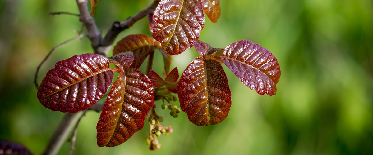 Close-up of red, shiny Poison Oak leaves growing in threes with blurred green background