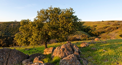 Green grassy hill with rocks and small oak tree